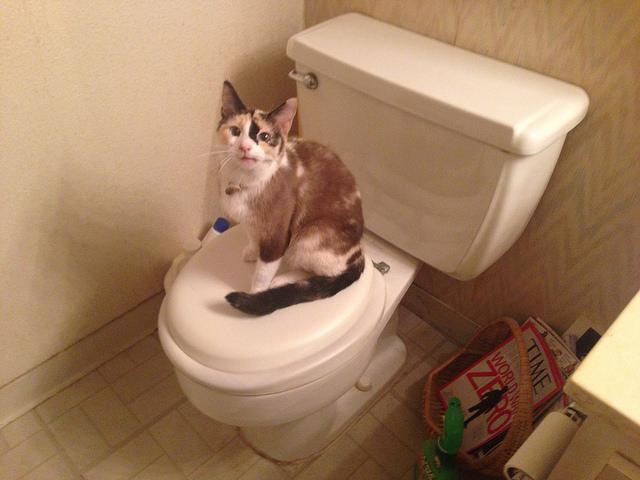 Should you toilet train your cat