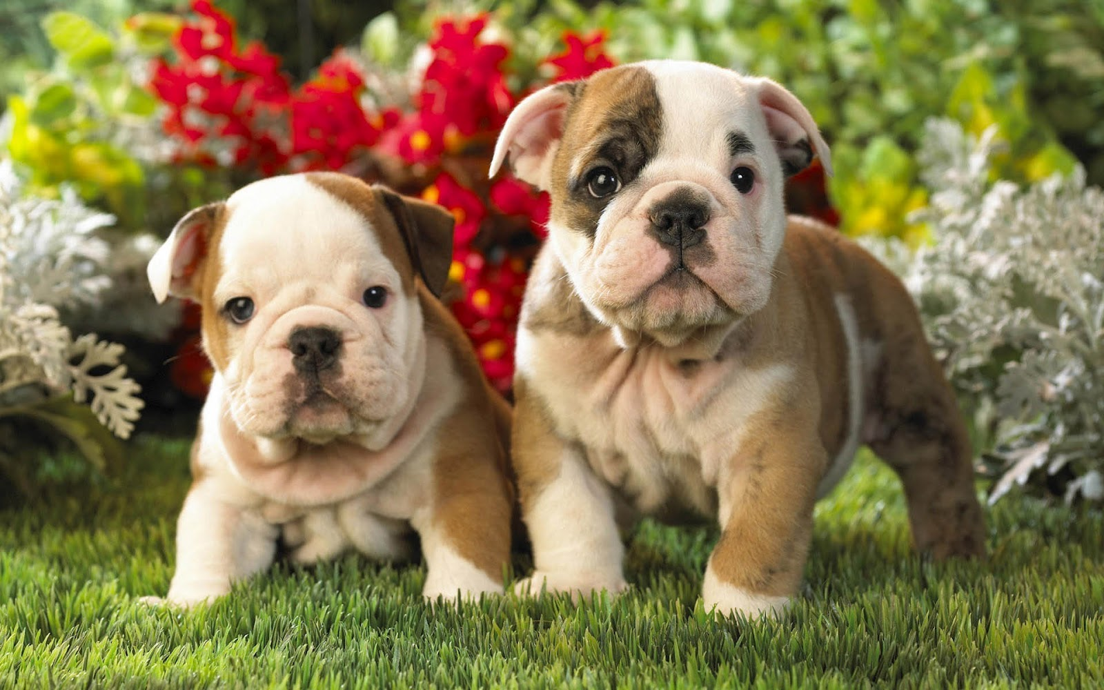 hd-english-bulldog-puppies-hd-dogs-wallpapers-backgrounds-pictures-photos